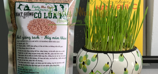 hạt giống cỏ lúa mì